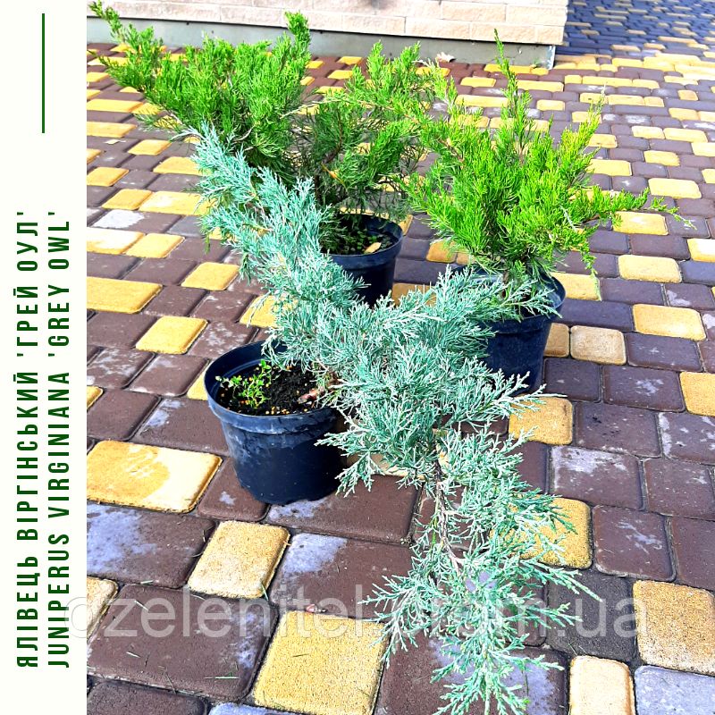 Можжевельник виргинский Грей Оул/ Ялівець віргінський Грей Оул/ Juniperus virginiana Grey Owl с 3