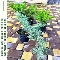 Можжевельник виргинский Грей Оул/ Ялівець віргінський Грей Оул/ Juniperus virginiana Grey Owl с 3, фото 1
