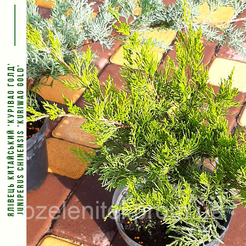 Можжевельник китайский Куривао Голд'/ Ялівець китайський 'Курівао Голд'/Juniperus chinensis 'Kuriwao Gold' с3