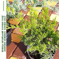 Можжевельник китайский Куривао Голд'/ Ялівець китайський 'Курівао Голд'/Juniperus chinensis 'Kuriwao Gold' с3, фото 1