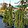Ель обыкновенная, плакучая 'Инверса' / Picea abies pendula 'Inversa' / Ялина звичайна 'Інверса'', фото 7