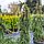 Ель обыкновенная, плакучая 'Инверса' / Picea abies pendula 'Inversa' / Ялина звичайна 'Інверса'', фото 6