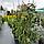 Ель обыкновенная, плакучая 'Инверса' / Picea abies pendula 'Inversa' / Ялина звичайна 'Інверса'', фото 2
