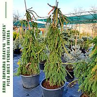 Ель обыкновенная, плакучая 'Инверса' / Picea abies pendula 'Inversa' / Ялина звичайна 'Інверса'', фото 1