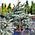 Пихта высокорослая 'Процера Глаука'/ Abies 'Procera Glauca' h 1,0 - 1,2 м, фото 5