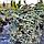 Пихта высокорослая 'Процера Глаука'/ Abies 'Procera Glauca' h 1,0 - 1,2 м, фото 3