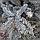 Пихта высокорослая 'Процера Глаука'/ Abies 'Procera Glauca' h 1,0 - 1,2 м, фото 2