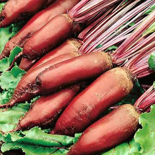 Семена свеклы Цилиндра, Griffaton 500 грамм