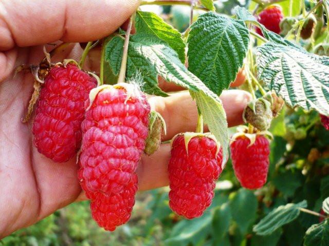 польза ягод малины