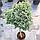 Можжевельник обыкновенный 'Блю Стар' ШТАМБ Juniperus squamata 'Blue Star ' h 90 см, фото 5