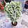 Можжевельник обыкновенный 'Блю Стар' ШТАМБ Juniperus squamata 'Blue Star ' h 90 см, фото 4