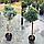 Можжевельник обыкновенный 'Блю Стар' ШТАМБ Juniperus squamata 'Blue Star ' h 90 см, фото 2