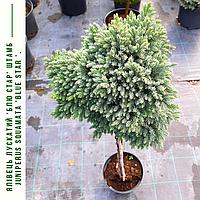 Можжевельник обыкновенный 'Блю Стар' ШТАМБ Juniperus squamata 'Blue Star ' h 90 см