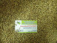 Суданка белая  семена, кг. (на кормовые цели или на сидераты)