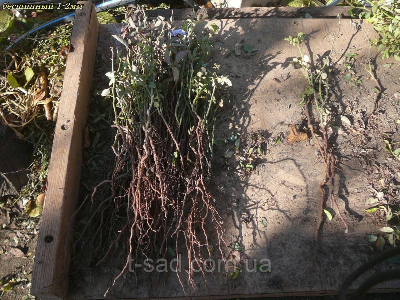 Сеянцы шиповника  Донецкий безшипный, Rosa canina(подвой для роз)1- 2-мм