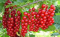 Концентрированный сок красной смородины (65-67Вrix) 1кг