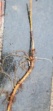 Хмель. Откопки корневых черенков.