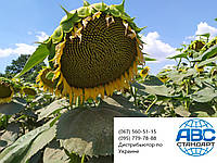 Семена подсолнечника под гранстар СУМО 556, Семена подсолнечника СУМО под гербицид Экспресс., фото 1