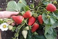 Как повысить урожайность без потери качества ягод: схема посадки клубники