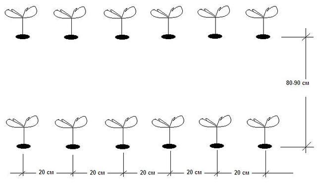 Однострочная схема клубники в открытом грунте