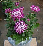 Маточник хризантема Cosmo Purple (Космо Перпле)