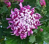 Маточник хризантема Cosmo Purple (Космо Перпле), фото 4