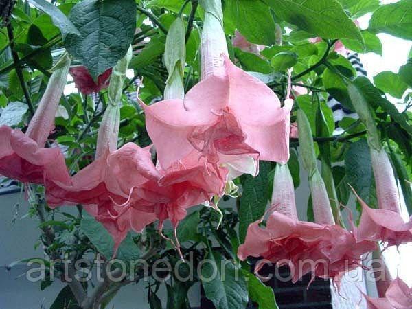 Бругмансия Angel's Pink