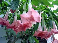 Бругмансия Angel's Pink, фото 1