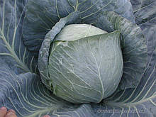 Семена капусты б/к Центурион F1 (2500 сем.) Clause
