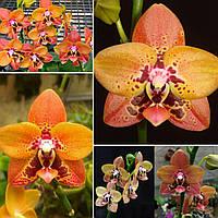 """Орхидея фаленопсис. Молодые растения Phal. Zheng Min Anaconda СHIENLUNG, горшок 2"""" без цветов, фото 1"""