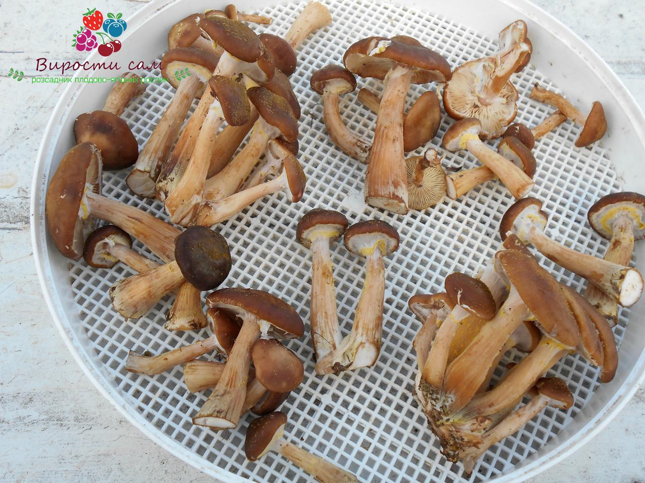 Сушеные грибы опята