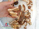 Сушеные грибы опята, фото 6