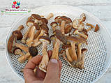 Сушеные грибы опята, фото 4