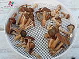 Сушеные грибы опята, фото 2