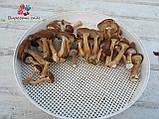 Сушеные грибы опята, фото 8