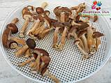 Сушеные грибы опята, фото 9