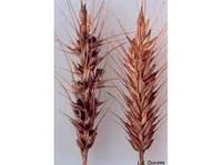 Тверда сажка пшениці, тверда (кам'яна) головешка ячменю