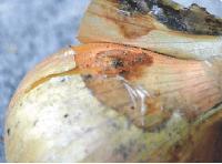 М'яка або мокра бактеріальна гниль цибулі