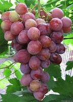 М'яка гниль виноград