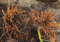 Обкоркування коренів, або пробкова гниль коренів томата