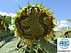Семена подсолнечника ЕС САКСОН под Гранстар. Гибрид устойчив к заразихе рас A-G, 42ц/га. Экстра
