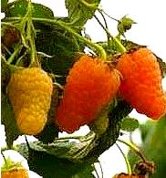 Саджанці малини Аміра жовта ремонтантна, фото 2