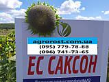 Гибрид ЕС Саксон устойчивый к семи расам заразихи A-G. Семена подсолнечника ЕС Саксон урожайные 42ц. Стандарт, фото 3