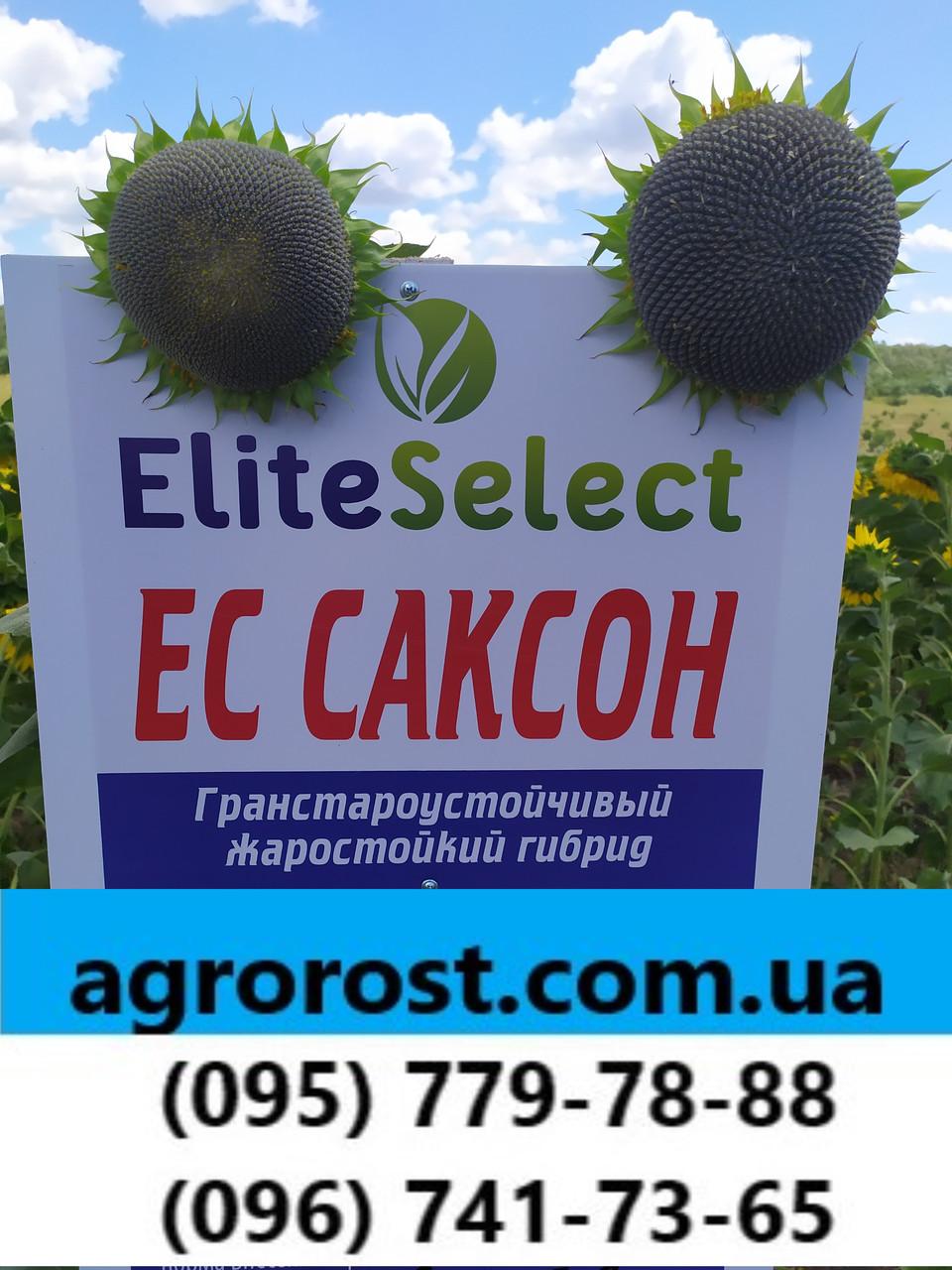 Гибрид ЕС Саксон устойчивый к семи расам заразихи A-G. Семена подсолнечника ЕС Саксон урожайные 42ц. Стандарт