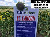 Гибрид ЕС Саксон устойчивый к семи расам заразихи A-G. Семена подсолнечника ЕС Саксон урожайные 42ц. Стандарт, фото 2