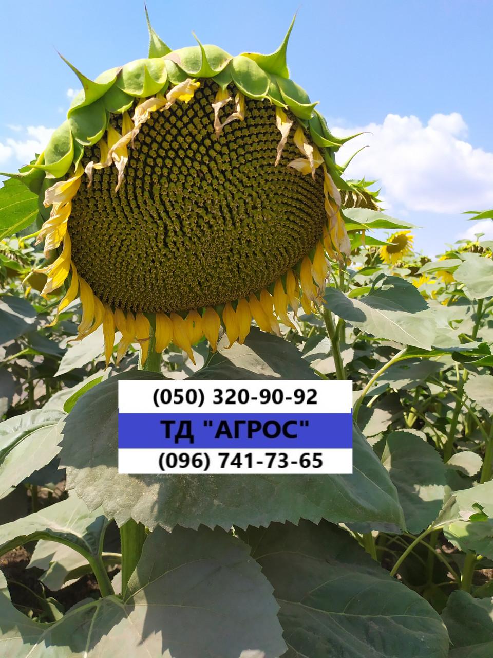 Подсолнечник под гранстар ЕС САКСОН устойчив семи расам заразихи A-G. Высокоурожайный гибрид 42ц/га. Экстра
