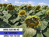 Подсолнечник под гранстар ЕС САКСОН устойчив семи расам заразихи A-G. Высокоурожайный гибрид 42ц/га. Экстра, фото 2