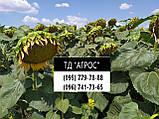 Подсолнечник под гранстар ЕС САКСОН устойчив семи расам заразихи A-G. Высокоурожайный гибрид 42ц/га. Экстра, фото 3
