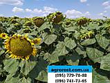 Подсолнечник под гранстар ЕС САКСОН устойчив семи расам заразихи A-G. Высокоурожайный гибрид 42ц/га. Экстра, фото 4