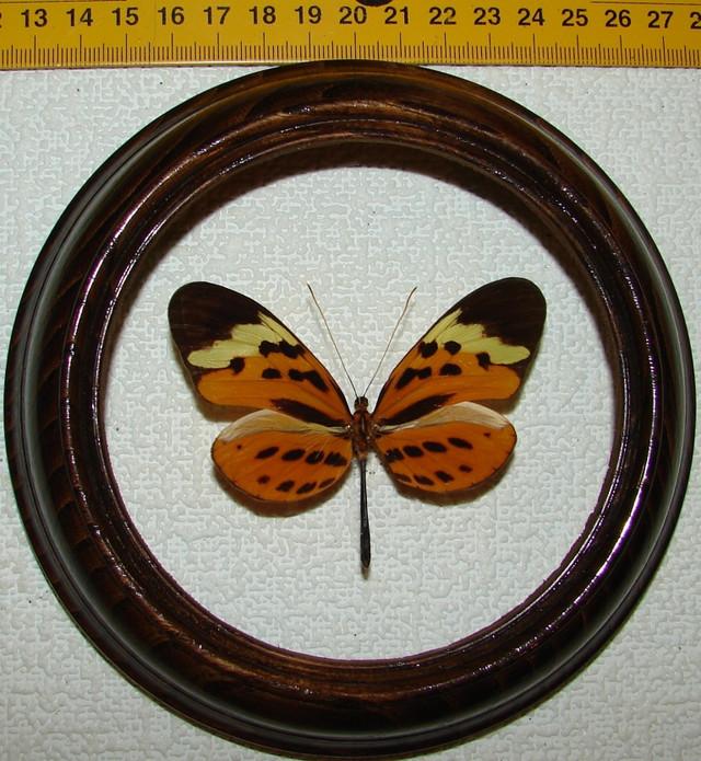 Melinaea mnasias comma